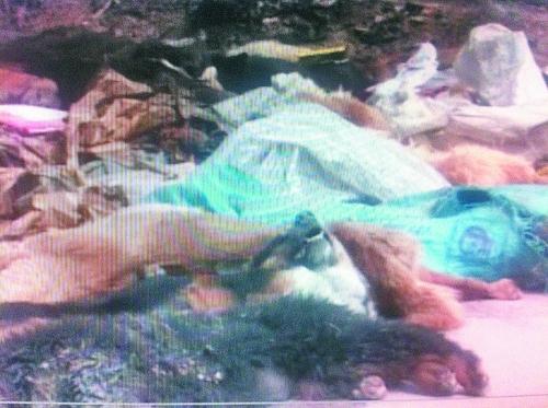 "Des tas de cadavres de chiens src = ""http://y3.ifengimg.com/news_spider/dci_2013/04/9422d4eb154554f1457165b7481d0162.jpg"
