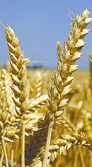 研究人员利用异花授粉和种子胚胎移植技术,把现代小麦与远古野草杂交
