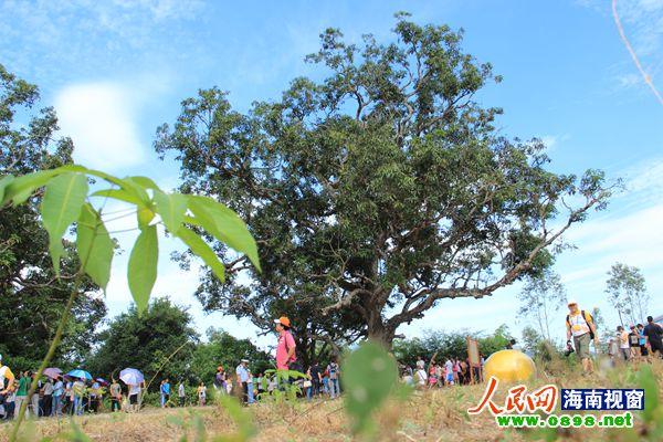 昌江县百年野生芒果树群赢得广大旅游者赞叹