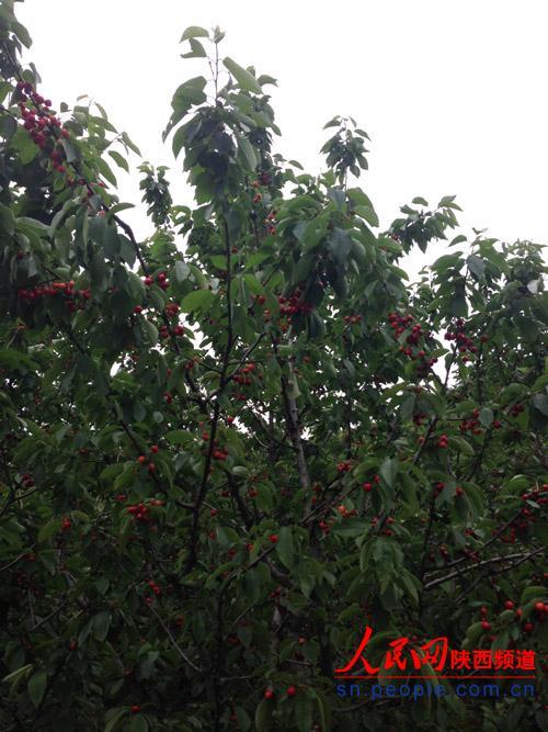 树上挂满了熟透的樱桃 桑境/摄
