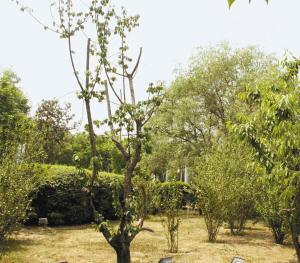 绿化带的樱桃树 很受伤图片