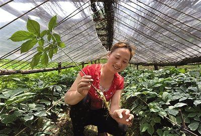 留坝县留侯镇闸口石村村民吴青花在自家地里展示她家种植的西洋参.