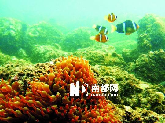 洲仔岛附近海域的奶嘴葵,其表面长有一种有毒的刺细胞,使除了小丑鱼