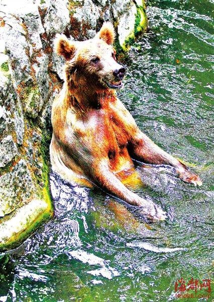 杭州动物园,棕熊每隔十几分钟就要下水游动