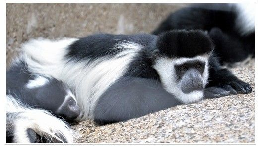 动物园防止夏季精神乏力的方法是?? 30度以上的酷暑连日持续,为了能够让动物们也顺利熬过高温酷暑,上野动物园实施了各种各样的应对措施。 相关人员还说:动物园里面有很多动物的总数在不断变少。为了保证该物种的存在,我们一定要给他们提供良好的居住环境,关心他们,甚至采取措施帮助他们繁殖。 下面将介绍一个暑期的对策,那边是给北极熊,棕熊,黑熊,老虎喂一些加冰的食物。另外斑嘴环企鹅,日本猿以及熊的放养地中,会安置喷雾器和喷水器。如果赶上好时候,你就可能看到小企鹅吃加冰食物,或者是洗淋浴时候的可爱样子了。 值得一