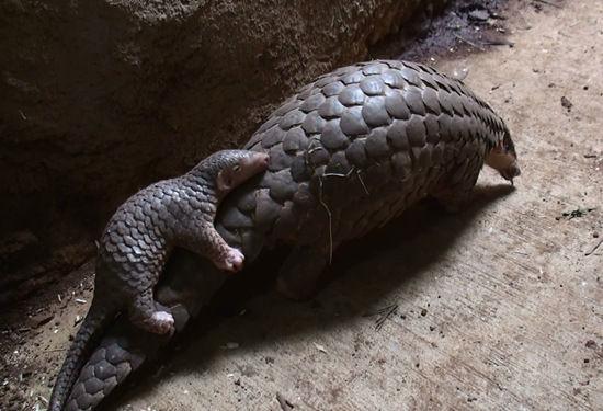 台北市立动物园15日公布照片,刚出生的穿山甲宝宝要到约5至6个月大时图片
