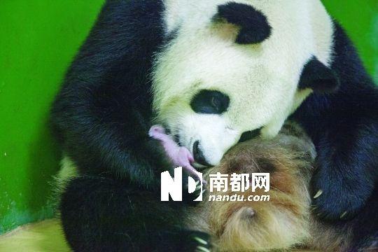 夢見抱大熊貓寶寶
