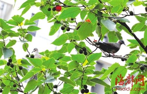 构树结果满树红球 鸟儿欢喜车主无奈