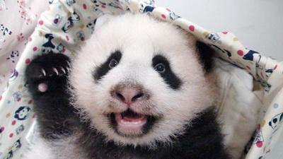 """赠台熊猫宝宝""""圆仔""""睡饱"""