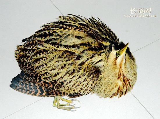 平泉发现稀有野生鸟大麻鳽 将放生于辽河源
