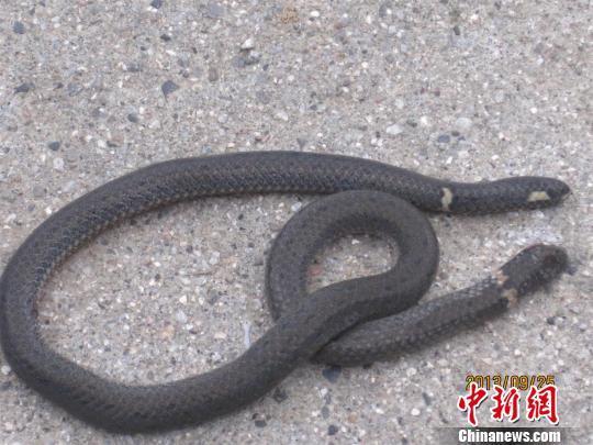 """杨先生抓住的小蛇有两个头,首尾一个宜昌市民杨先生提供摄src=""""http://y3.ifengimg.com/news_spider/dci_2013/09/d7223419d12b64acfcefd4166e3d6960.jpg"""""""