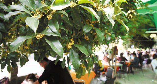 满陇桂雨景区阵阵花香,游客在桂花树下品茗赏桂,十分惬意.