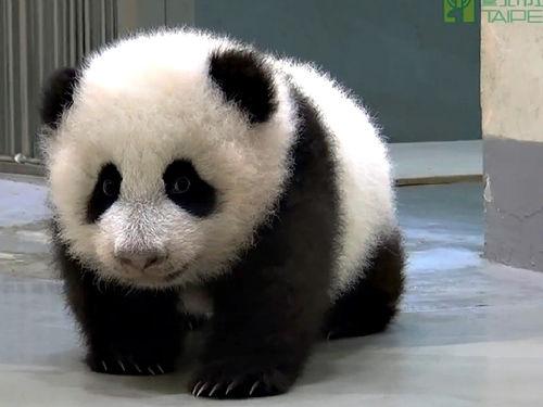 """原标题:台北大熊猫宝宝""""圆仔""""到处爬 被妈妈叼回窝 圆仔(台北市立动物"""
