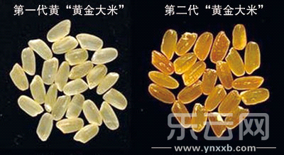 """第一代""""黄金大米""""于2000年问世,使用了来自黄水仙的基因,其中胡萝卜素含量为每克大米约含1.6μg/g。"""