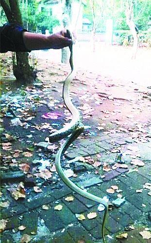 图为男子抓住的大蛇。网友供图