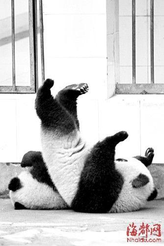 """滚动新闻 > 正文   原标题:两熊猫合作""""越狱""""  跌回园内,摔了个四脚"""