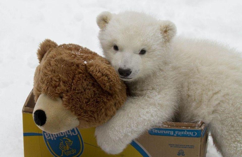 可爱的小白熊喜获圣诞礼物——一只同样可爱的泰迪熊!