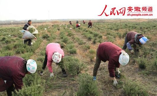 成安徽省最大的迷迭香种植基地