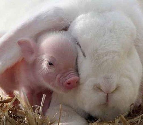 照片中,一直可爱的猪宝宝和一只兔子青梅竹马,争抢着镜头拍照.