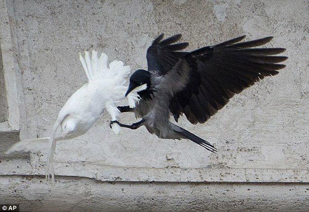 """据英国媒体报道,罗马教皇本笃十六世1月27日在主持年度宗教活动时放飞了两只和平鸽。不料,他的""""和平使者""""竟然沦为了海鸥和乌鸦的猎物。"""