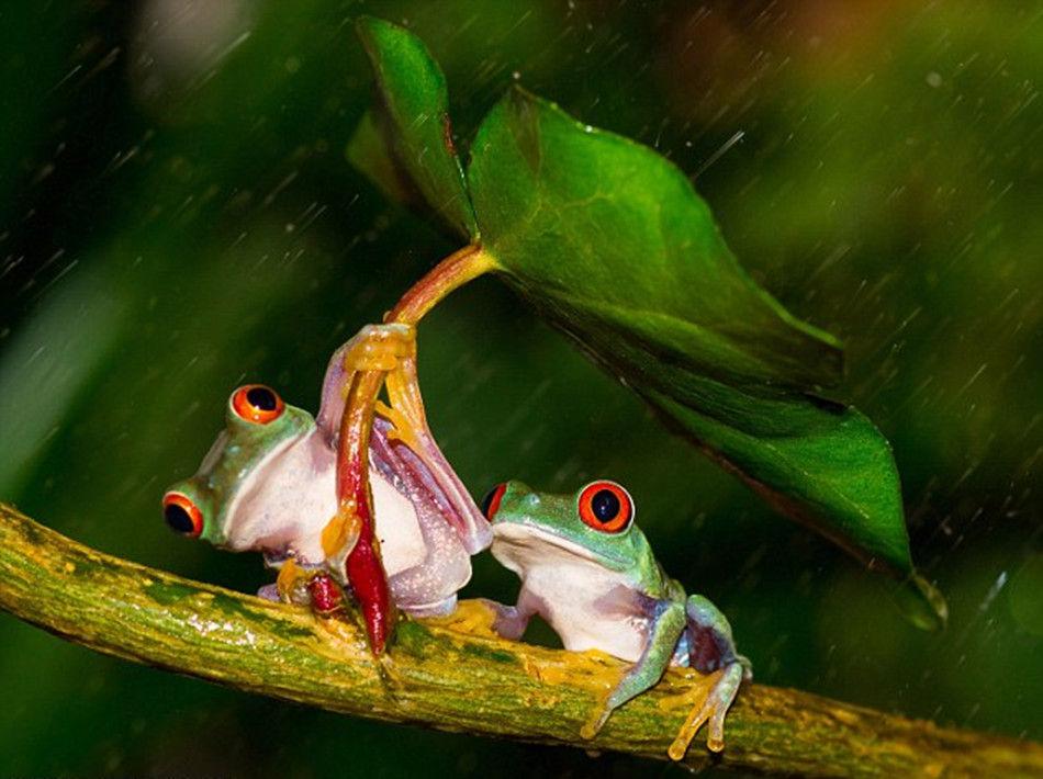 摄影师雨天抓拍小树蛙为同伴