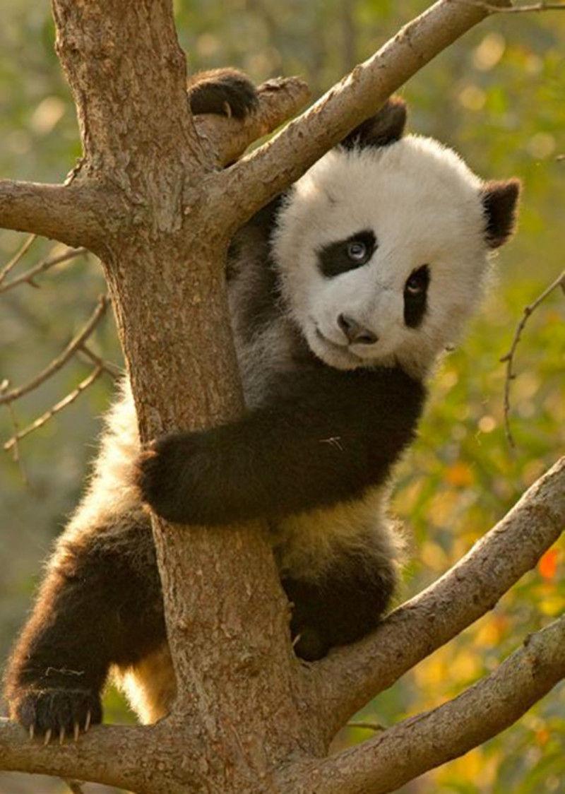 这些熊猫宝宝只有几个月大,饲养员已经开始教它们爬树。(网页截图)   国际在线专稿:据英国《每日邮报》2月20日报道,相对于喜欢睡懒觉、吃嫩竹的熊猫宝宝来说,学习爬树似乎并不容易。摄影师在四川成都养殖与研究中心抓拍到14个熊猫宝宝学习爬树的萌态,看着它们气喘吁吁的样子,让人心生怜爱。(沈姝华)