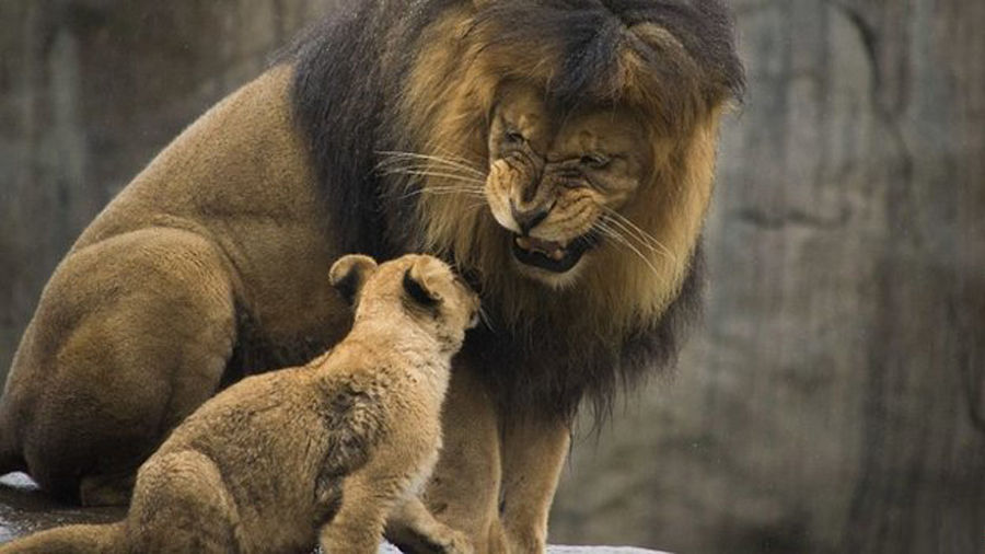 丹麦动物园处决长颈鹿后连杀四头狮子引众怒