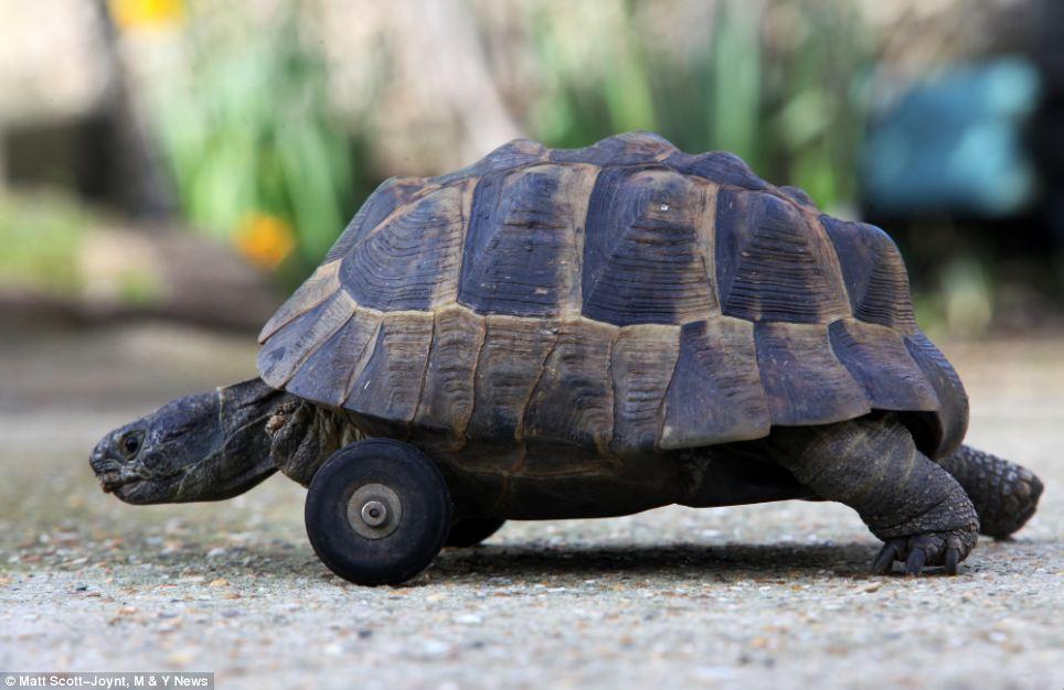 冬眠乌龟前肢被老鼠啃食 兽医为其安装一对前轮