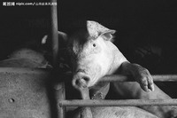 """养猪如果全部使用配合饲料,每年将消耗粮食生产总量的40%左右。本版图片来源:昵图网src=""""http://y3.ifengimg.com/tech_spider/dci_2012/03/761d6f08a017048b9942345536737831.jpg"""""""