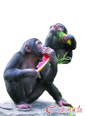 几只可爱的黑猩猩吃西瓜,喝凉茶解暑.