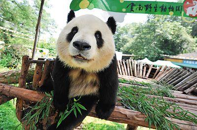 图为寄养在云南野生动物园的大熊猫思嘉