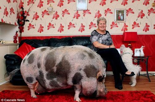 """宠物猪/道斯与其""""庞大""""宠物猪在家里的合影。"""