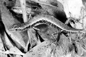 金色的梅尔维尔角蜥蜴生存范围限于高原雨林,环境潮湿,岩石众多
