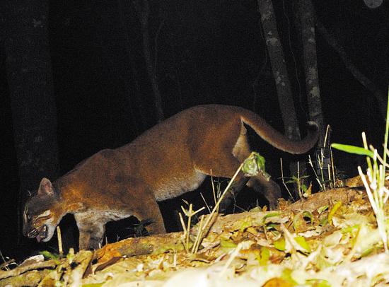 亚洲金猫_亚洲金猫属于中等体型的猫科动物,也是一个黑夜中的\