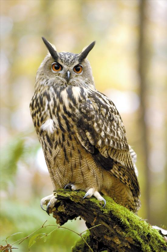猫头鹰��h�_猫头鹰的两耳不对称|不对称|猫头鹰_凤凰资讯
