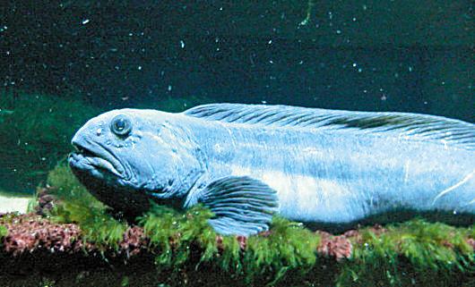 巨型食人鱼图片_东方狼鱼 东方狼鱼相关资料_龙太子供应网