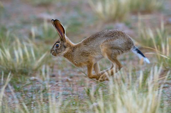 长尾巴的兔子_亦诺:抓拍野兔的尾巴到底有多长(组图) 【动漫人生】-凯迪社区